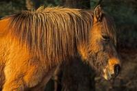 Fuchsfarbene Stute