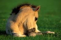 Dülmener Wildpferde-Fohlen