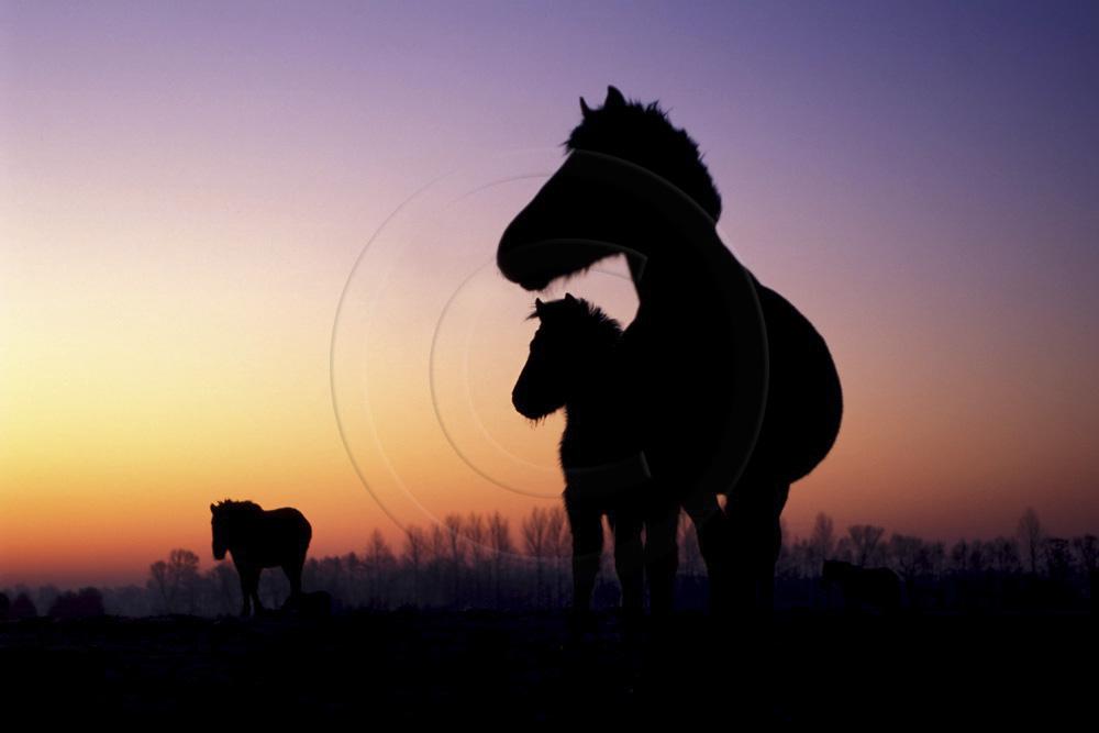 Pferde-Silhouetten im Morgenlicht