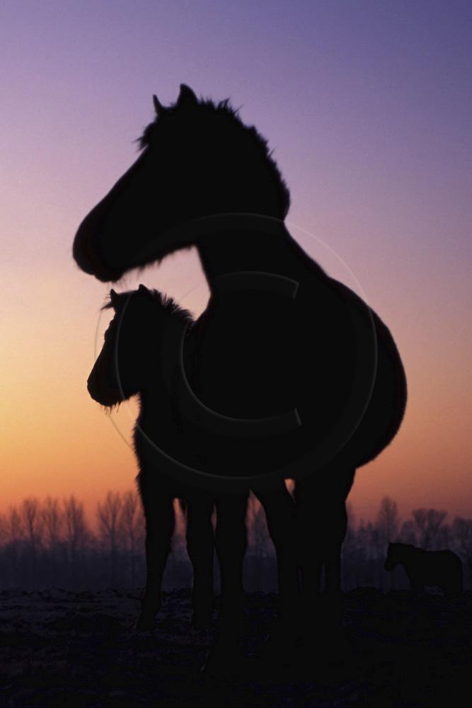 Wildpferde-Silhouetten im Morgenlicht