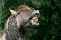 Flehmendes Dülmener Wildpferd