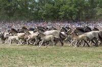 Die Herde wird von den Fängern in die Arena getrieben