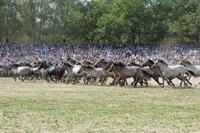 Die Herde stürmt in die Arena im Merfelder Bruch