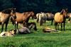 Ruhende Herde