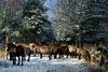 Ruhende Herde auf Waldlichtung